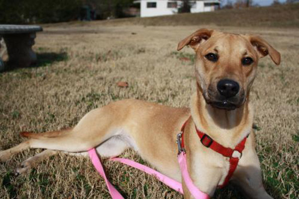 Black Mouth Cur Pitbull Mix | Dog Breeds Picture